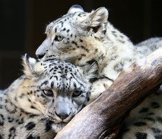 Clouded Snow Leopards Comforting One Another.