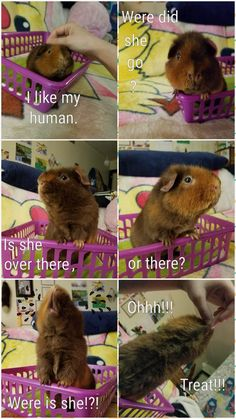 Make sure that your lovely guinea pigs have the best things in life. A large guinea pig … Baby Guinea Pigs, Guinea Pig Toys, Guinea Pig Care, Guinea Pig Funny, Hamster Toys, Hamsters, Rodents, Cute Baby Animals, Funny Animals