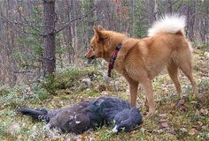 Yet another descendant of Viking Age hunting dogs, the Finnish Spitz Dog is also known as the Barking Bird Dog.