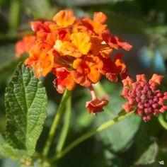 Lantana — Green Acres Nursery & Supply