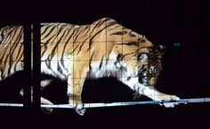 A tiger that escaped from her cage at a Paris circus was shot and killed by her owner. Could this be the impetus for banning performing animals in France?