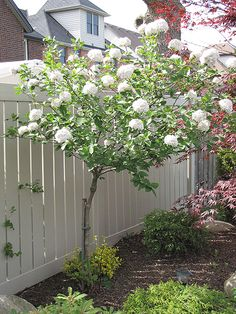 Fragrant Snowball Tree (Viburnum x carlcephalum 'Cayuga' - tree form); fragrant snow ball flower clusters in spring.