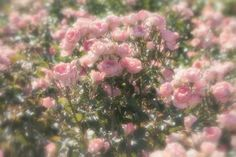 ethereal uploaded by jeatour on We Heart It Spring Aesthetic, Nature Aesthetic, Flower Aesthetic, Aesthetic Vintage, Aesthetic Photo, Aesthetic Pictures, No Rain, Wall Collage, Picture Wall
