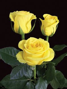 Yellow roses for you xxx Amazing Flowers, Beautiful Roses, My Flower, Beautiful Flowers, Foto Rose, Roses Only, Rose Pictures, Tea Roses, Mellow Yellow