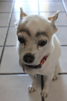 drawing eyebrows on dogs <3 its so cute!