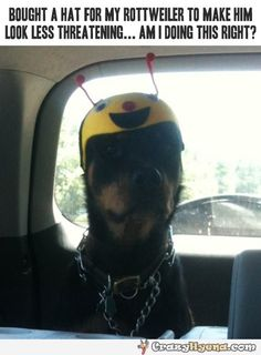 Coolest rottweiler wearing a kids hat to look less threatening.