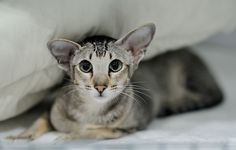 I want this cat! Oriental shorthair