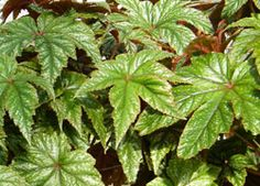 """Dramatic Gryphon Begonia Makes a Beautiful Foliage Houseplant on http://www.hortmag.com. Needs full to part shade. Grows to about 12-16"""" tall x18""""wide"""