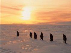 Across_the_Sea_of_Ice_Emperor_Penguins_Weddell_Sea_Antarctica. Penguin Images, Penguin Pictures, Animal Pictures, Images Of Penguins, Winter Wallpaper, Sunset Wallpaper, Nature Wallpaper, Hd Wallpaper, Wallpaper Maker