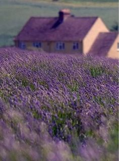Lavender field, house.