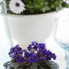Usambaraveilchen (Saintpaulia ionantha)