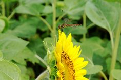 Dragonfly on a sunflower
