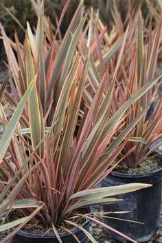 Plant Catalog - PHORMIUM SUNDOWNER