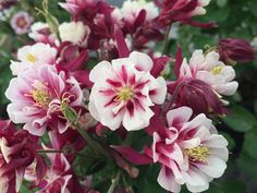 Winky Double Red & White Columbine http://www.bcnursery.com/COLUMBINE-WINKY-DOUBLE-RED-WHITE-1-GAL-P3760.aspx