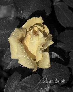 Abstract Flower Print Yellow Rose Photo Black & by PixelPaintbrush, $20.00