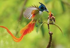 National Geographic Birds of Paradise-- paradise flycatcher Pretty Birds, Beautiful Birds, Animals Beautiful, Gorgeous Gorgeous, Stunningly Beautiful, Nature Animals, Baby Animals, Cute Animals, Exotic Birds