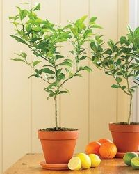 Indoor : Good Indoor Lemon Tree Indoor Lemon Tree: Natural Indoor Decoration Yard Trees' Fast Growing Trees For Privacy' Slow Growing Trees and Indoors Indoor Lemon Tree, Key Lime Tree, Meyer Lemon Tree, Backyard Creations, Citrus Trees, Orange Trees, Fast Growing Trees, Plantation, Topiary
