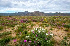 Coyote canyon borrego springs 2017 desert flowers pinterest coyote canyon borrego springs 2017 desert flowers pinterest borrego springs and desert flowers mightylinksfo