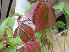 Villiviini,  Parthenocissus, Virginia creeper