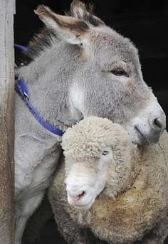Donkey honoured for saving sheep from dog attack Amazing Animals, Animals Beautiful, Cute Animals, Wild Animals, Mini Donkey, The Donkey, Especie Animal, Funny Animal, Unlikely Friends