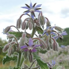 Borage-Borago officinalis The star-like flowers can be frozen in ice for summer drinks, and the flowers and cucumber-flavored leaves are tasty in salads. Borage stays attractive and green long into the fall and readily self-sows for the next season. A favorite of the bees! Germination code: (1)