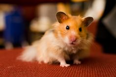 Coffee by Jason Shum on 500px. His friend's hamster, Coffee