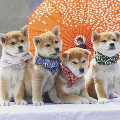 #ShibaInu0 #Puppies, of which I own the second from the left, Ikki. Breeder: No Miyajima