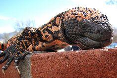 Gila Monster Cute Reptiles, Reptiles And Amphibians, Animals And Pets, Cute Animals, Gila Monster, Pet Lizards, Colonel Sanders, Komodo Dragon, San Diego Zoo