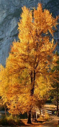 Cottonwood tree at Swinging Bridge, Yosemite National Park ~~by Robin Black~~