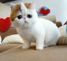 I absolutely love this type of cat! And it's cute flat face!!! <3