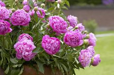 Double Peony Related Keywords & Suggestions - Double Peony Long Tail ...