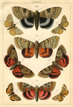 Natural History Print - Moths - The Graphics Fairy