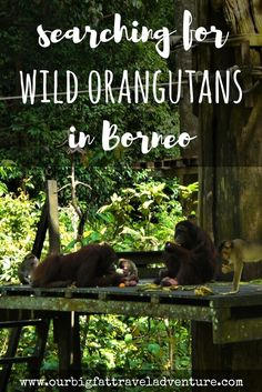 We spent three weeks in Malaysia searching for wild orangutans in Borneo - here's the story of our quest from Danum Valley to the Kinabatangan river. Orangutans in Borneo   Borneo Orangutans   orangutan sanctuary borneo   sepilok orangutan sanctuary    orangutans in the wild   wild orangutans   Borneo orangutan   orangutans in Borneo