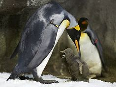 Gay penguin couple adopts egg