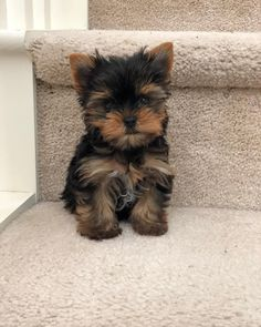 All the things I like about the Tenacious Yorkshire Terrier Dogs Source. The post All the things I like about the Tenacious Yorkshire Terrier Dogs appeared first on Haiden Hounds. Cute Baby Dogs, Cute Little Puppies, Cute Dogs And Puppies, Cute Little Animals, Little Dogs, Puppies Gif, Lab Puppies, Yorky Terrier, Terrier Dogs