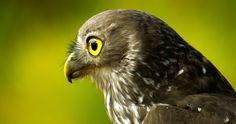 Birds Falcon Eyes Glance Head Beak Animals