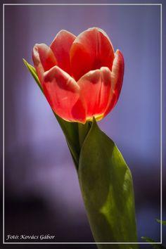 Tulip by Kovács Gábor on 500px