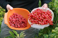 Himbeer- und Johannisbeer-Ernte! In diesem Jahr waren unsere Sträucher voll mit den süßen, roten Beeren | Ländchenlust