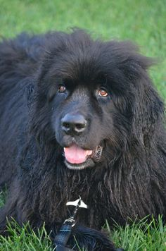Willie - a wonderful water loving boy! is an #adoptable Newfoundland Dog •  Extra Large • in #ONTARIO --- This gorgeous Newf is in the care of NEWF FRIENDS Newfoundland dog rescue -- please direct all inquiries to THEIR WEBSITE  www.newf-friends.ca.