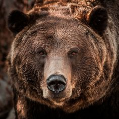Grizzly Bear Close-Up