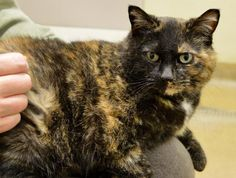 Name: Smokie Age: 14 years Breed: DSH - Torti How I Arrived At NHS: I was surrendered because my family had many life changes and they could no longer care for me. Note From An NHS Volunteer: Smokie is an independent cat who is a little slow to adjust, but one she knows you she does like some cuddle time on a nice warm lap or laying in a nice sunny window sill.  My Favorite Hobby: Once Smokie is comfortable with you she enjoys being brushed.