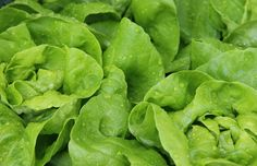 More color equals more nutrition: romaine and red leaf lettuce has 8 times more vitamin C than iceberg! Chicken Steak, Grilled Chicken Salad, Farm Animals Preschool, How To Cook Broccoli, Head Of Lettuce, Spinach Soup, Close Up Photography, Succulents
