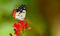 Red Pierrot Butterfly by Pradeep Krishnan