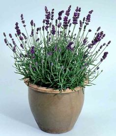 New Annuals and Perennials Available Now for the Garden: Lavender 'French Perfume' (Lavandula angustafolia) Balcony Garden, Herb Garden, Vegetable Garden, Garden Plants, Garden Seeds, Patio Plants, Lavender Seeds, Potted Lavender, Lavender Flowers