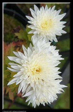 white chrysanthemums by Giancarlo Gallo