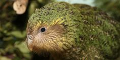 """""""Owl-Face Soft-Feather"""" The Creature Feature: 10 Fun Facts About the Kakapo - Wired Science"""