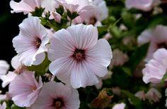 Lavatera trimestris 'Pink Beauty' (Tree Mallow)