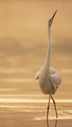 An egret - so majestic!