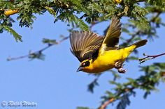 Gone Again - A masked weaver launches into flight