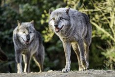 https://flic.kr/p/FMuGWL | Two timberwolves | Two timberwolves walking together, on the top of the cliff...